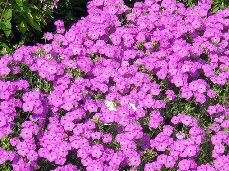 Wild pink phlox (Farmer's Almanac)