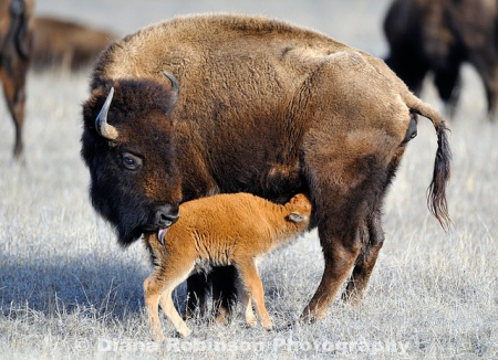 Buffalo calf nursing