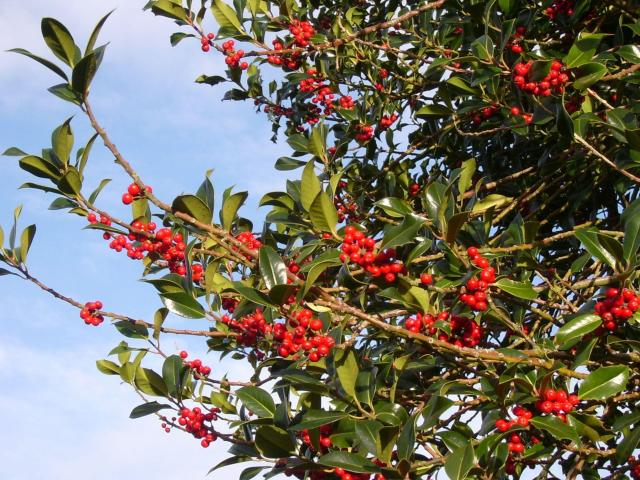 Holly tree (treesdirect.co.uk)
