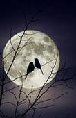 Birds in full moon