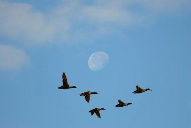 Ducks flying in front of moon