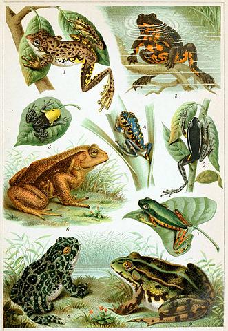 Frog Species (Wikipedia)