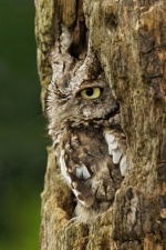 Eastern Screech Owl (Getty Images)