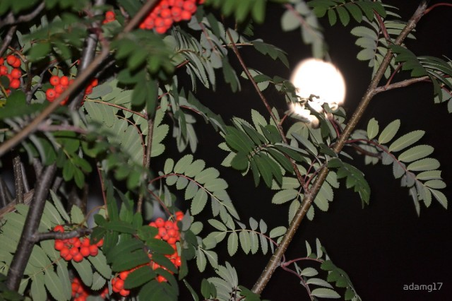 Rowan tree at night with moon
