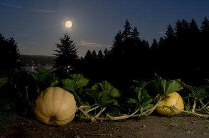 Squash under Full Moon (HerbMentor)
