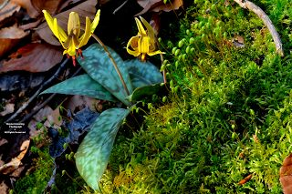 Yellow Trout Lily and Fruiting Moss (Wayne Browning)