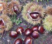 Ripe chestnuts on ground