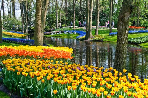 Tulips in Holland's Keukenhof Park (credit Alison Cornford-Matheson)